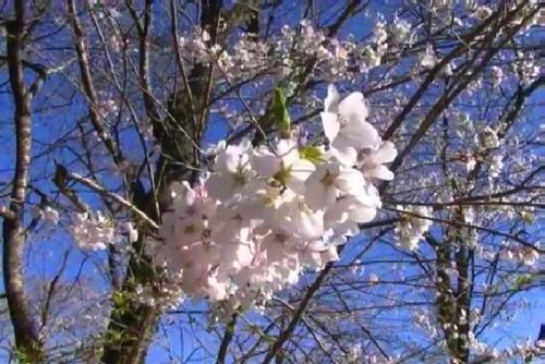 2014.4根尾谷淡墨桜(花と新芽)