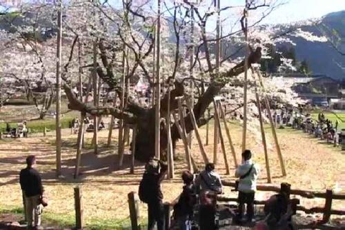 2014.4根尾谷淡墨桜(西側から)