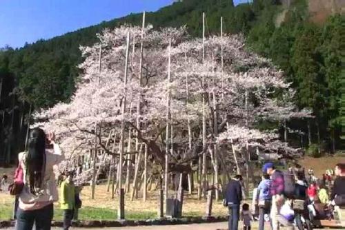 2014.4根尾谷淡墨桜(東南東)