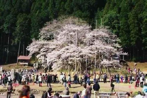 2014.4.6根尾谷淡墨桜(東側から)