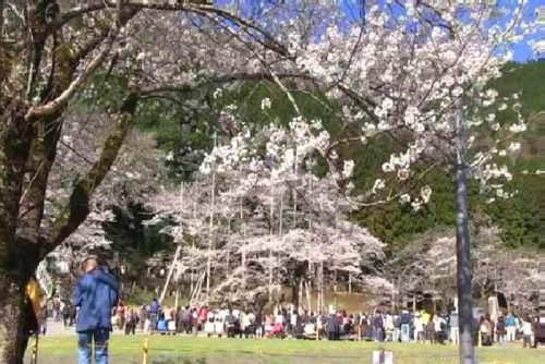 2014.4.6根尾谷淡墨桜(子孫も次々と満開)