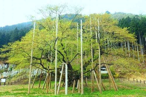 2014淡墨桜葉桜