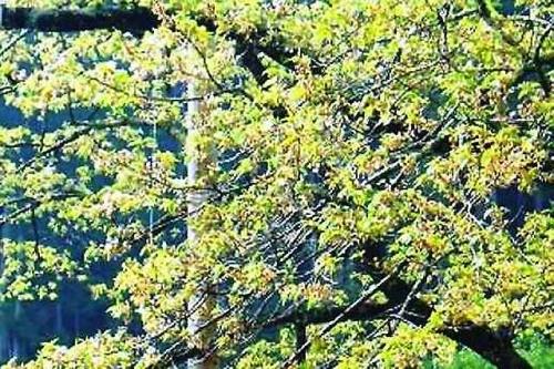 2014淡墨桜葉桜2