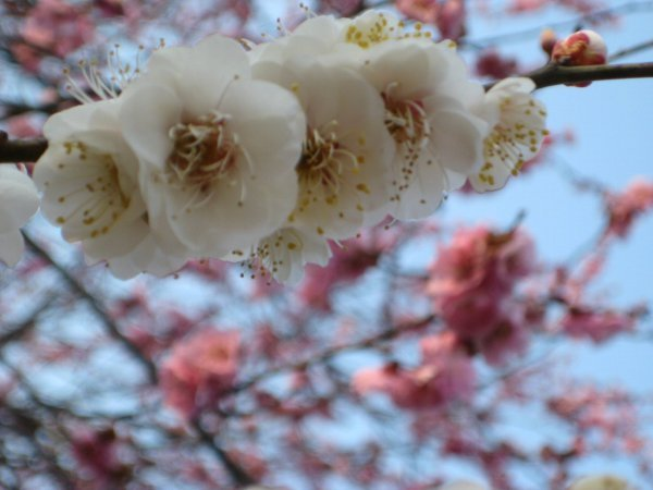 フードアナリストのいぶくろブログ-吉野梅郷_満開時03