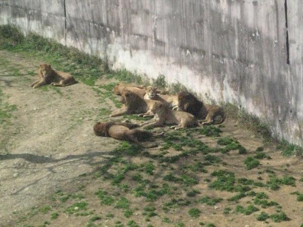 フードアナリストのいぶくろブログ-多摩動物公園_ライオン