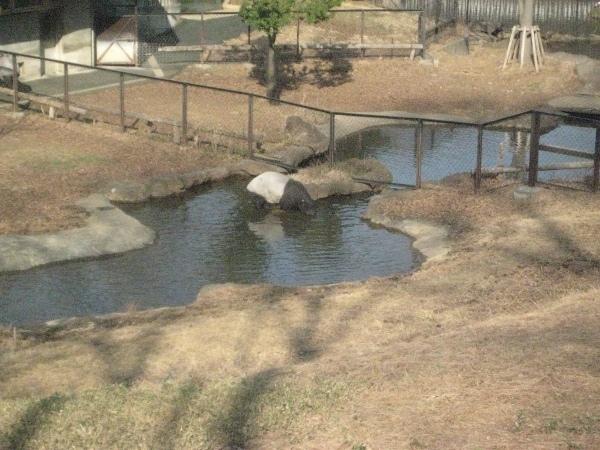 フードアナリストのいぶくろブログ-多摩動物公園_マレーバク