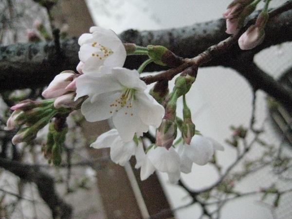 フードアナリストのいぶくろブログ-桜