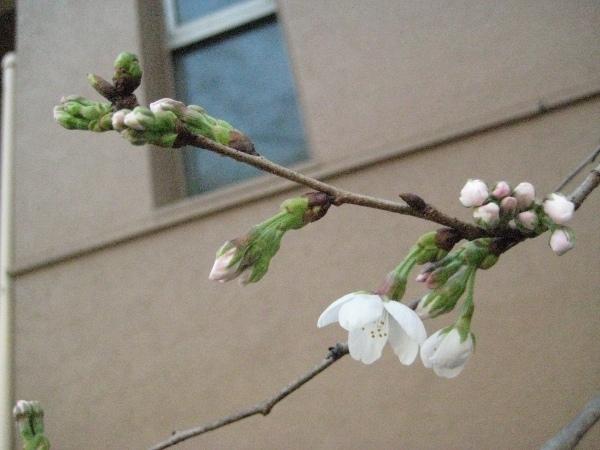 フードアナリストのいぶくろブログ-桜開花順序