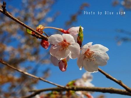 七曲り桜up