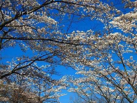 七曲り桜トンネル
