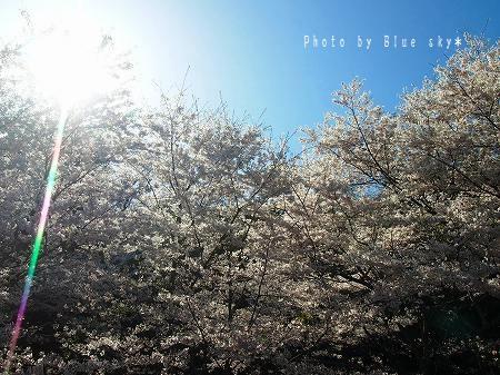 日差しと桜