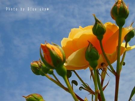 5空とバラ2