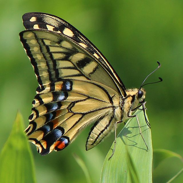 640px-Papilio_machaon_on_grass.jpg