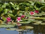 池にはスイレンも咲いてます!
