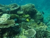黒島沖~オ二ヒトデの被害からテーブルサンゴも再生されてきたのがわかります。