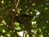 鳩間島に居たアオバト~鳴き声が尺八??初めて聞きました。面白いです!