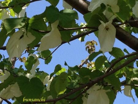 ハンカチの木③