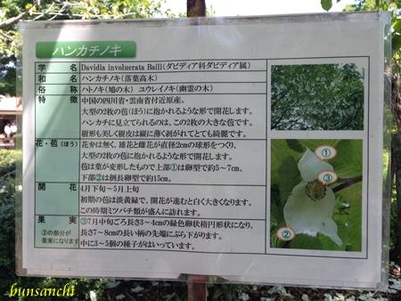 ハンカチの木④