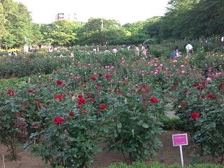 DSC_バラの花1