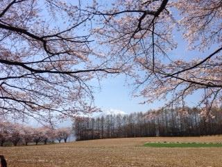 0415蕪の桜1