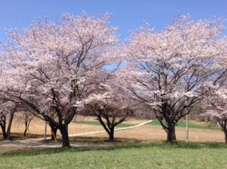 0415蕪の桜2
