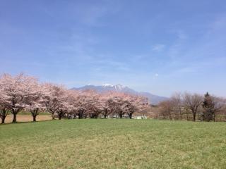 0415蕪の桜3