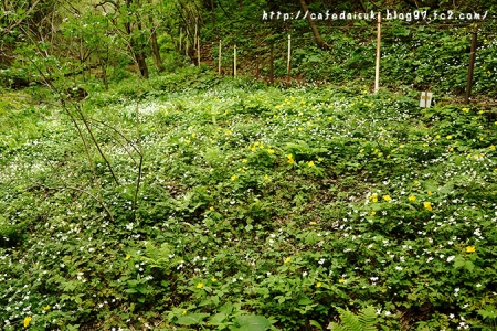 クマガイソウ群生地のニリンソウとヤマブキ@福島県福島市水原地区