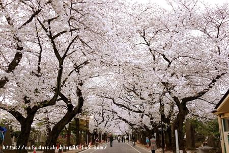 谷中霊園の桜@東京都台東区