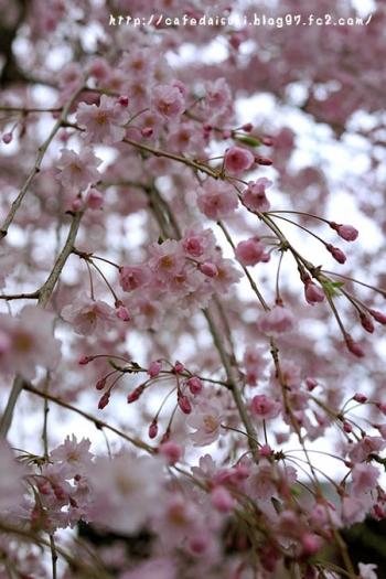 上野桜木の桜