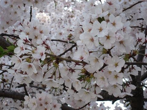 桜縮小アップ
