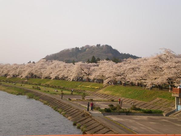 201055sakura.jpg