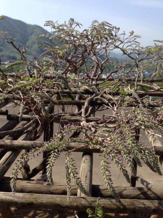 藤の芽吹き