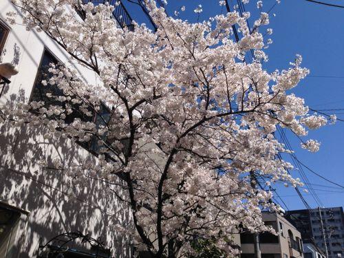 IMG_4328sakura.jpg