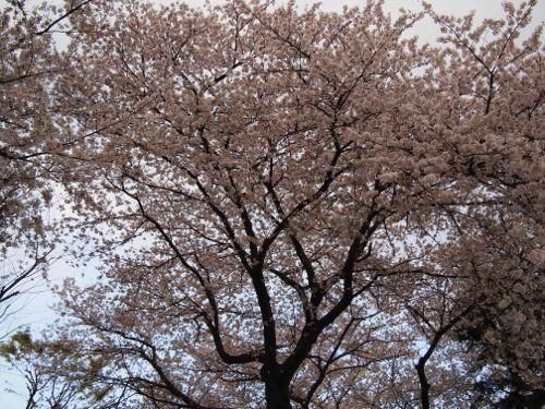P4042367sakura.jpg