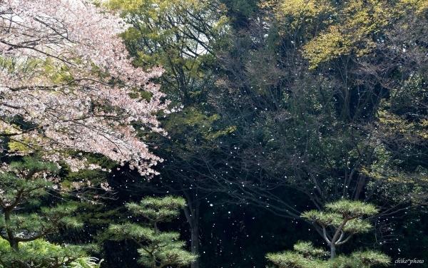 photo-403 サクラ8 舞い散る桜