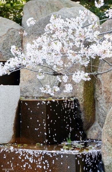 photo-404 サクラ9 流れる花びら