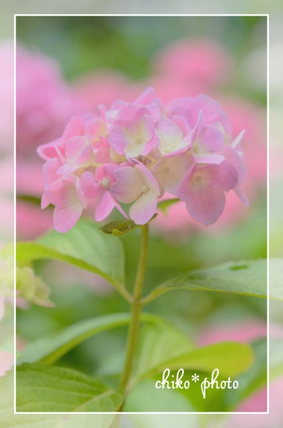 photo-461 ふんわり紫陽花_1