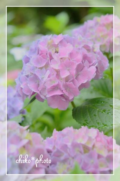 photo-462 ふんわり紫陽花_2