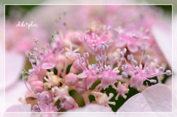 photo-463 マクロで紫陽花_1