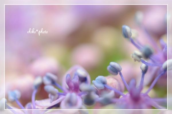 photo-464 マクロで紫陽花_2