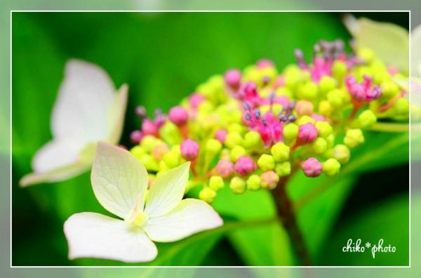 photo-466 鮮やか紫陽花2