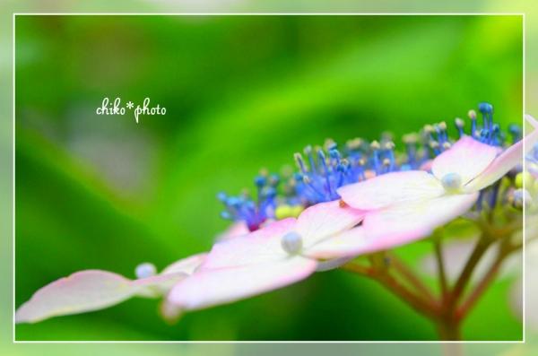 photo-467 鮮やか紫陽花3
