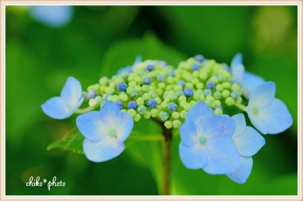 photo-468 可憐な紫陽花1