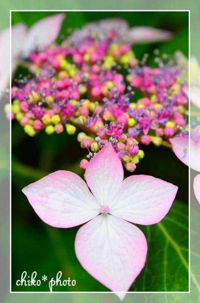 photo-465 鮮やか紫陽花1