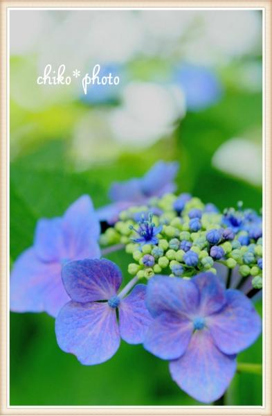 photo-469 可憐な紫陽花2