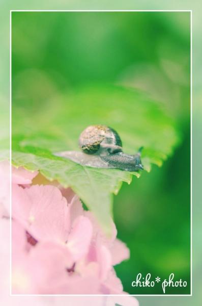 photo-470 カタツムリと紫陽花_1