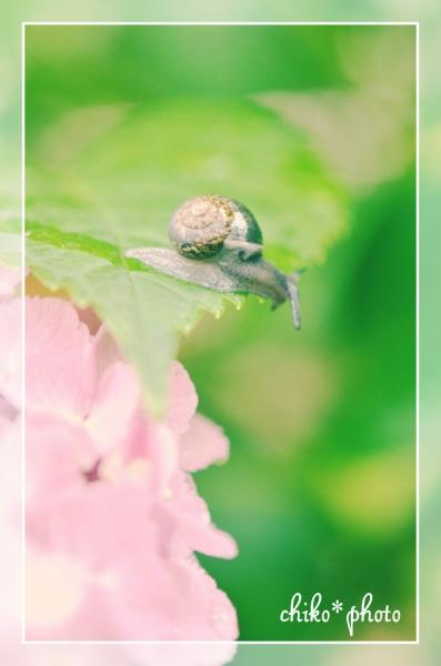 photo-470 カタツムリと紫陽花_2