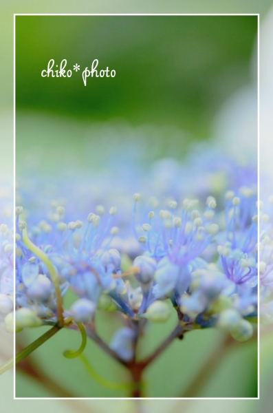 photo-472 マクロで紫陽花_3