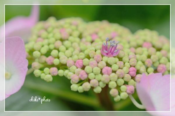 photo-473 マクロで紫陽花_4