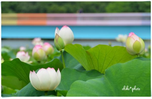 photo-486 蓮池_2